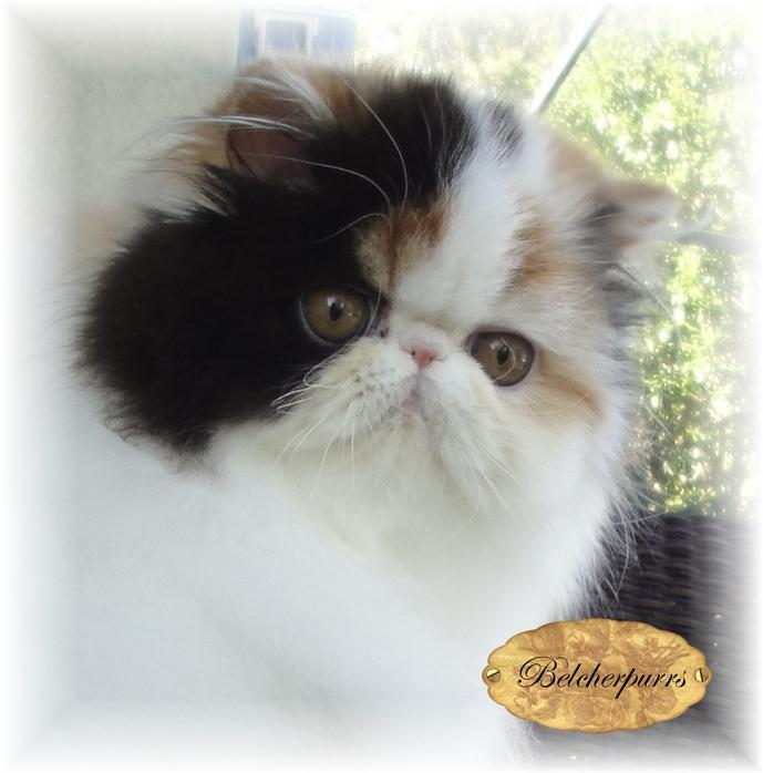 Belcherpurrs Persians and Exotics In Sunny Tampa Bay Florida